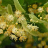 fragrant linden flowers blooming in the early spring